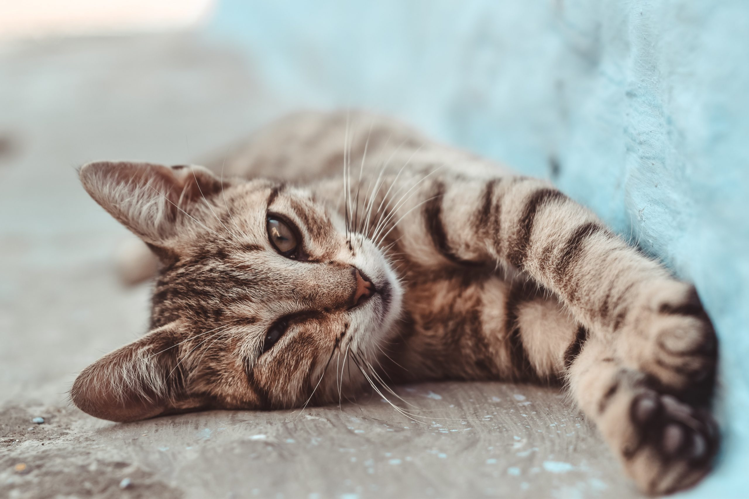 cat stretching paws lying on side