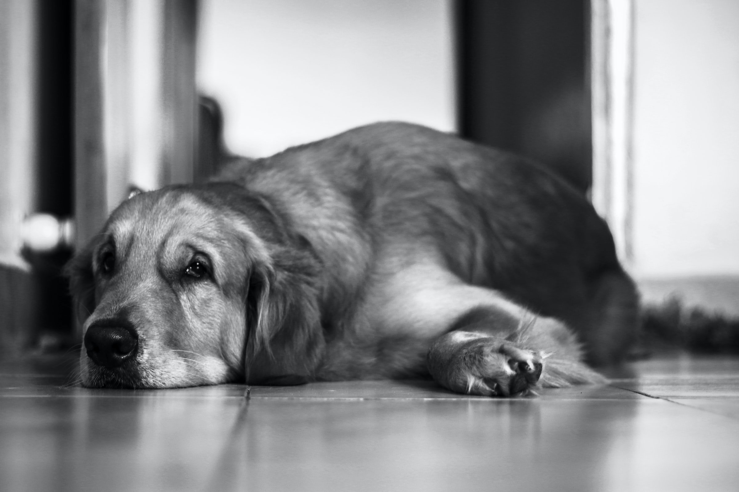 old dog lying down