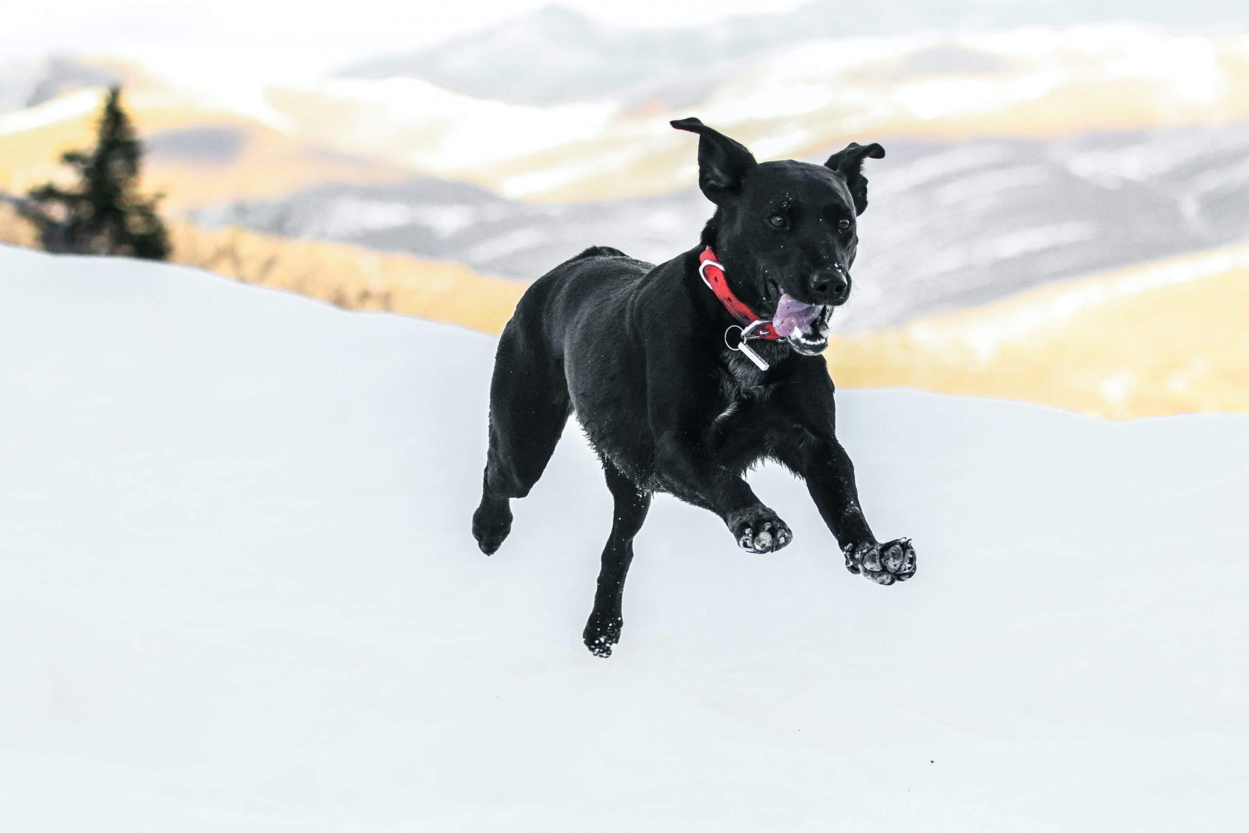 happy dog running through the snow
