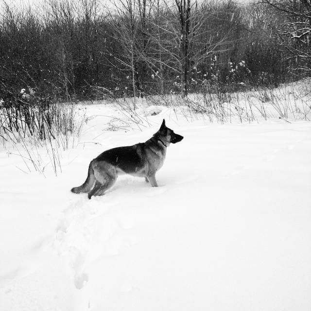 black and white image of German Shepard looking out over the snow