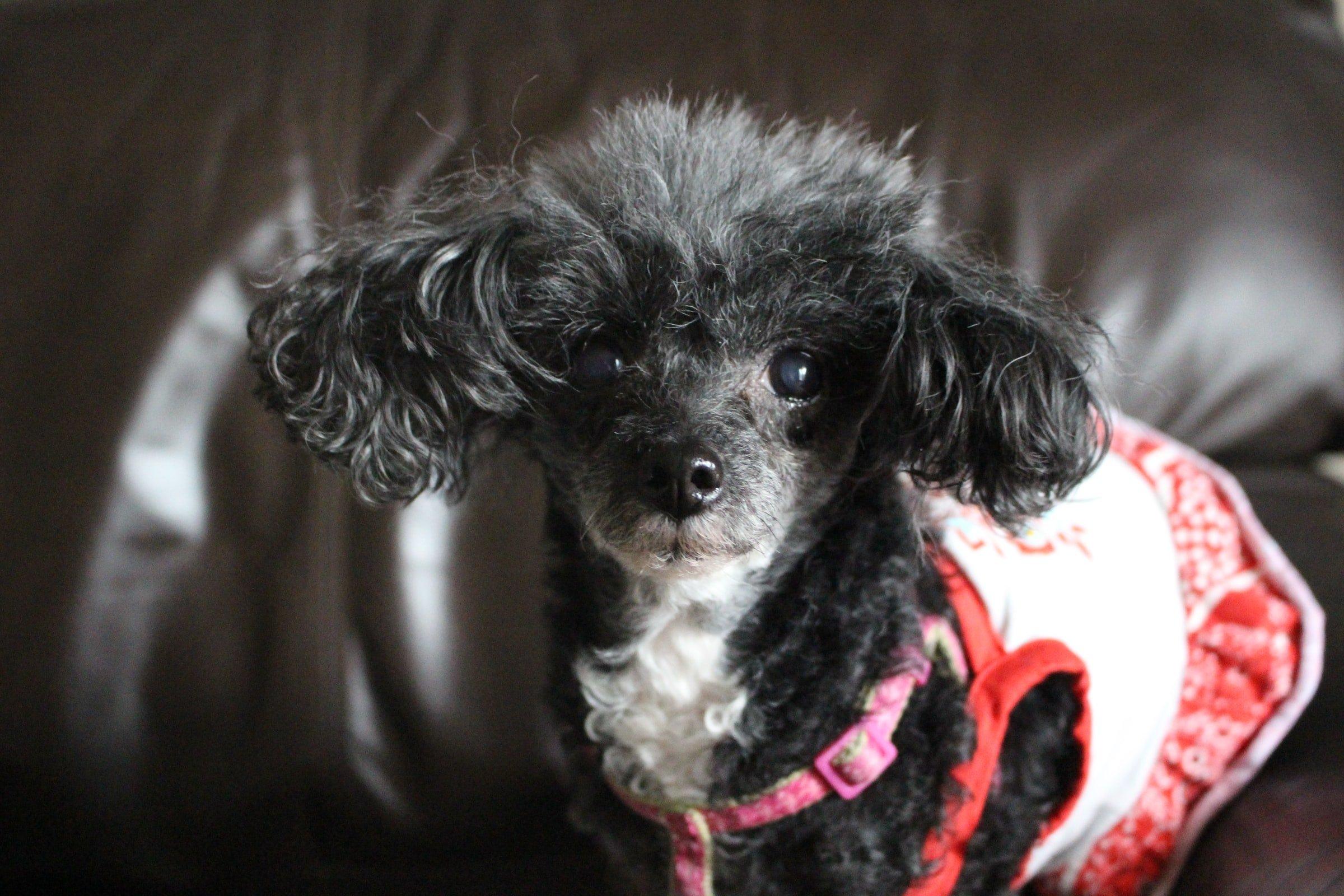 happy senior toy poodle