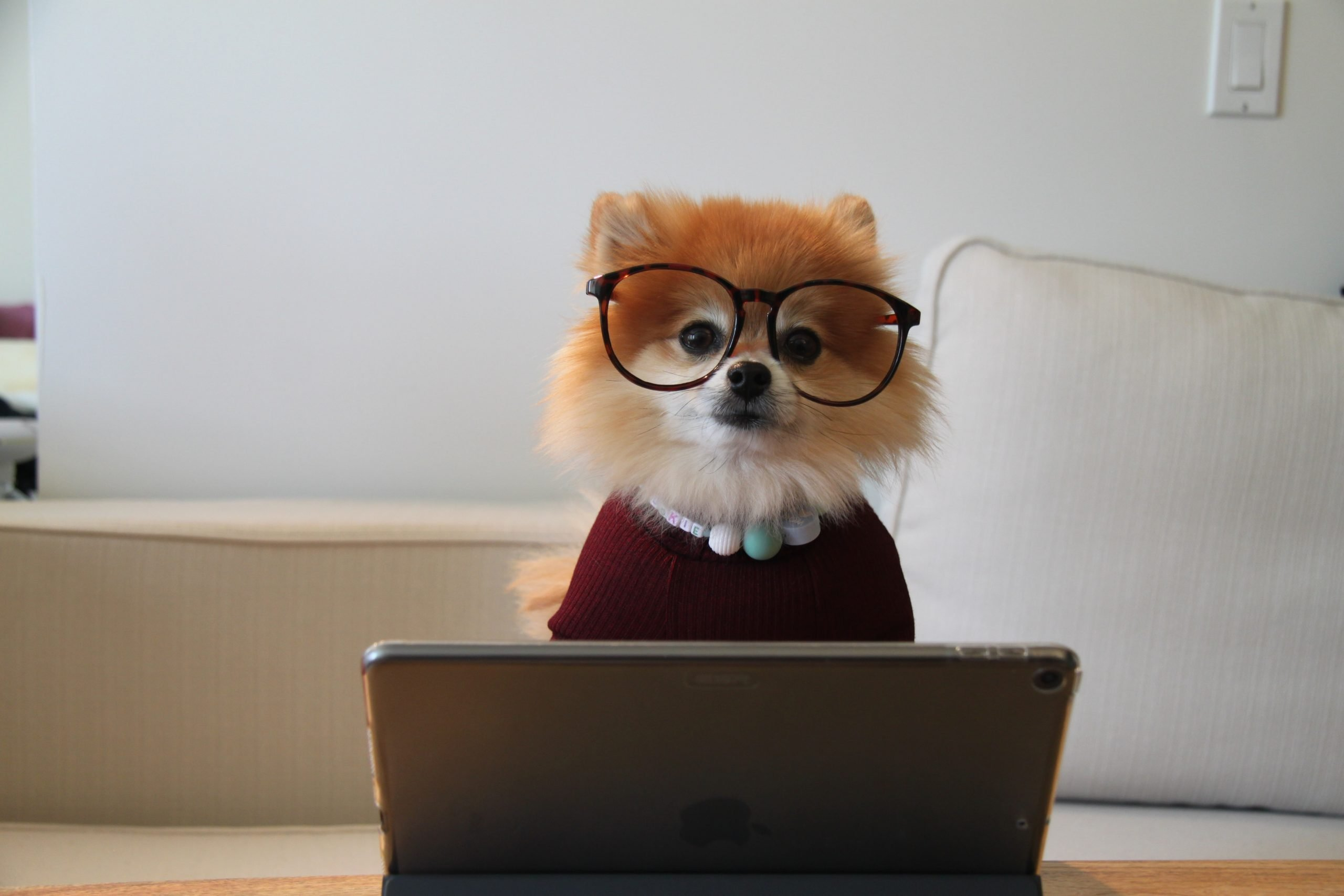 Pomeranian wearing glasses, necklace and sweater sits at a computer