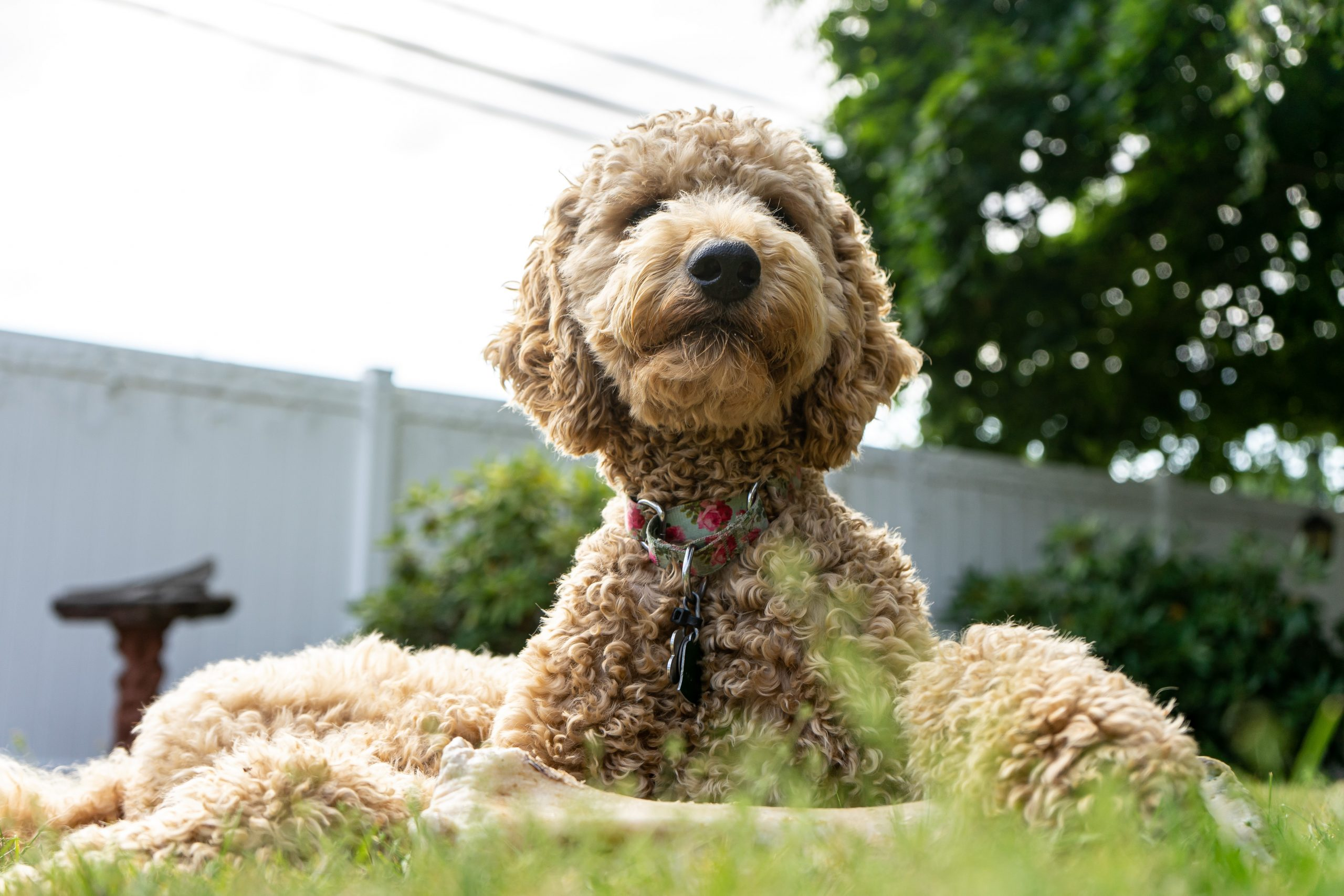 doodle dog outside in the grass