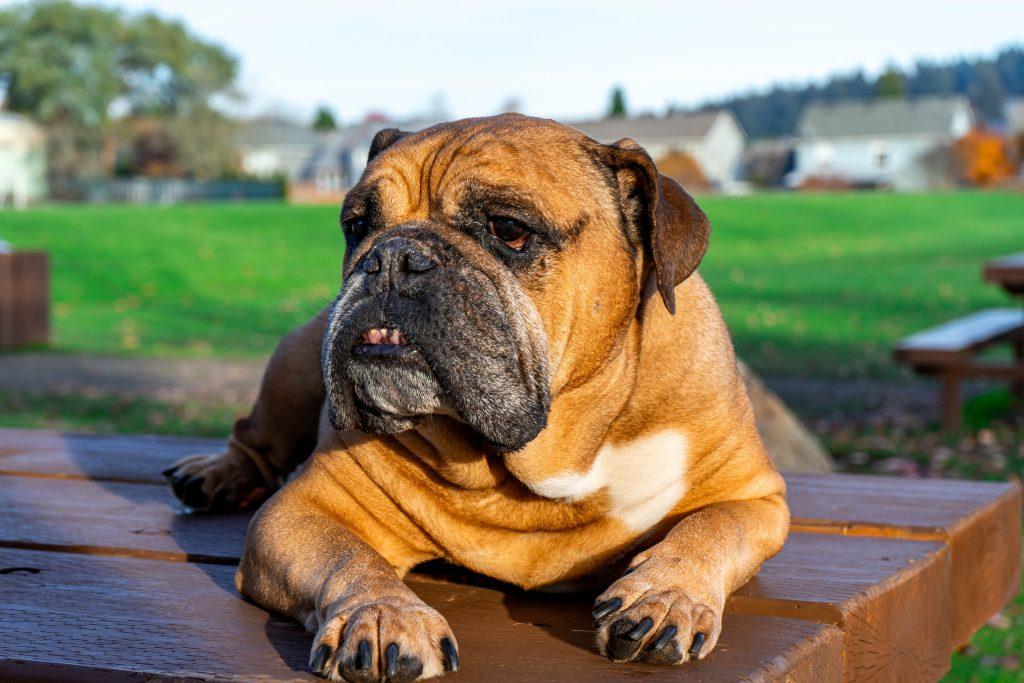 bulldog outside in the sun