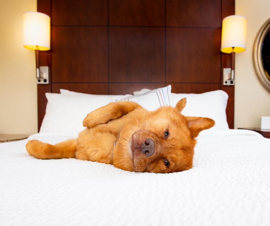 dog lying on hotel bed