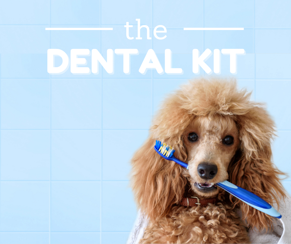 poodle holding a toothbrush