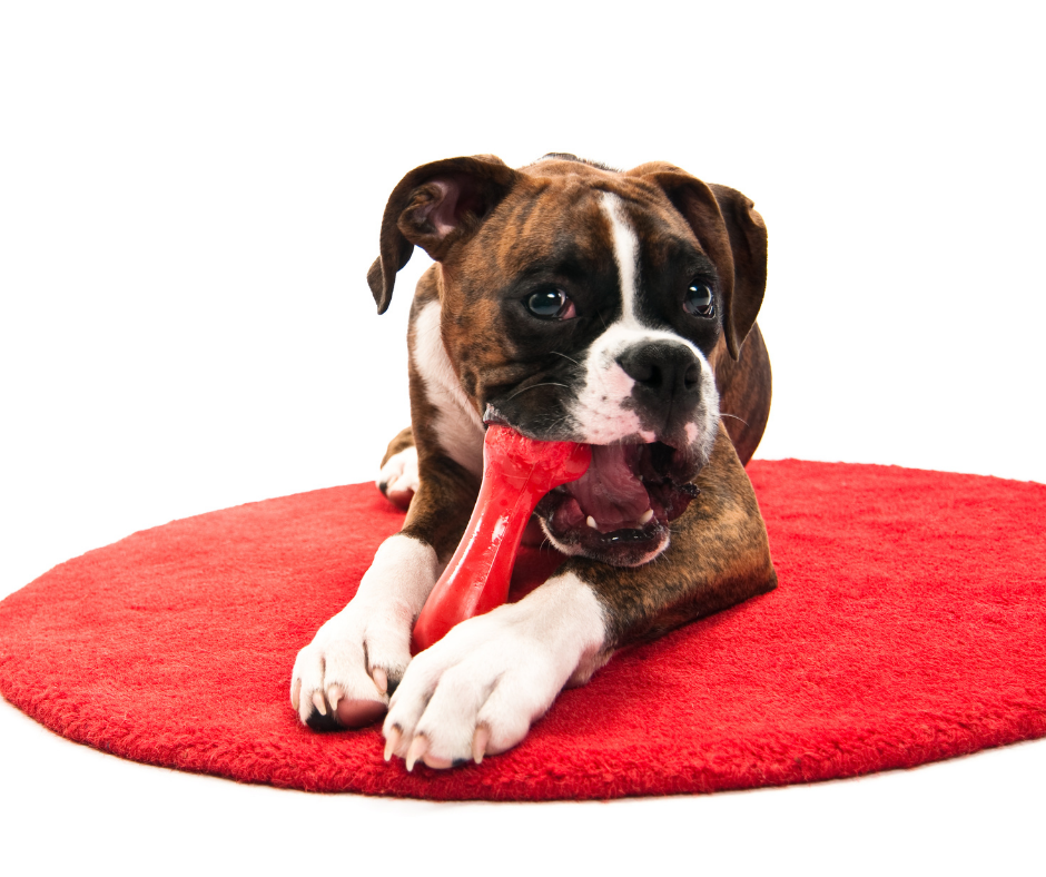 boxer chewing on chew toy